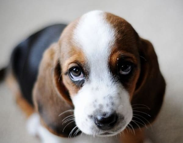 40 Pictures of Cute Puppy Faces 32