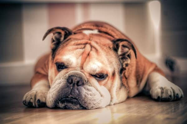 Top 10 Laziest Dog Breeds 1