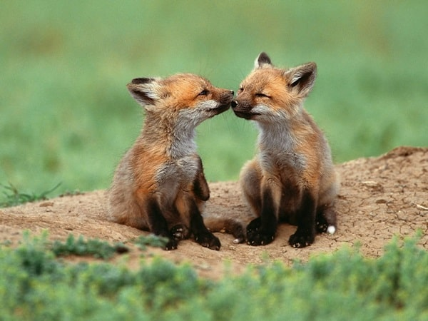 40 Cute Fox Pictures 10