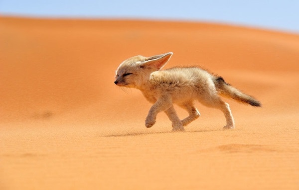 40 Cute Fox Pictures 11