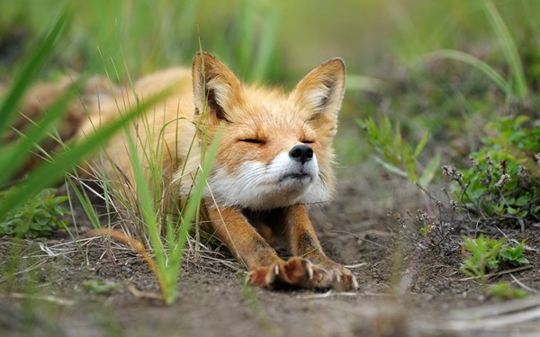 40 Cute Fox Pictures 12