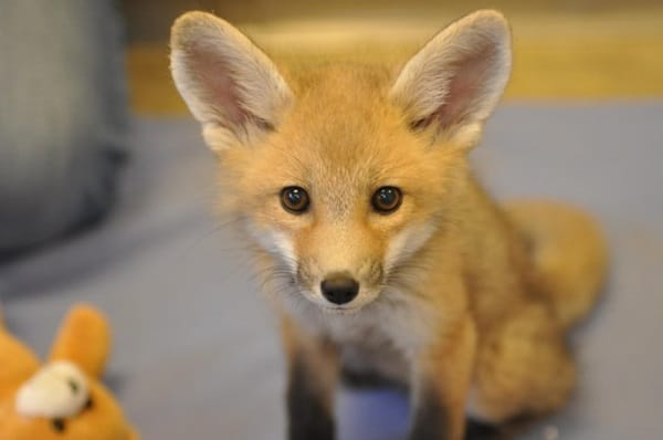 40 Cute Fox Pictures 13