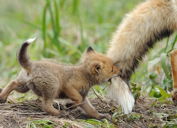 40 Cute Fox Pictures 15