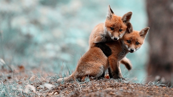 40 Cute Fox Pictures 16