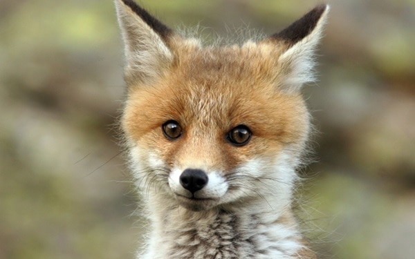 40 Cute Fox Pictures 17