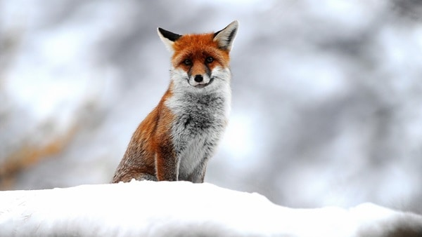40 Cute Fox Pictures 18