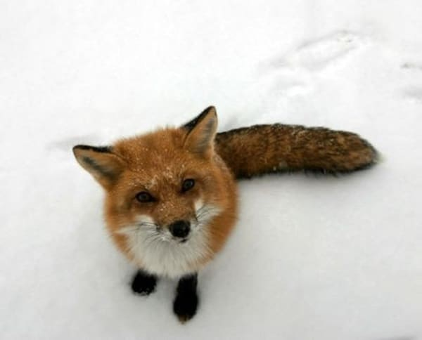 40 Cute Fox Pictures 19