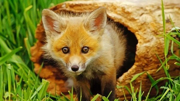 40 Cute Fox Pictures 2
