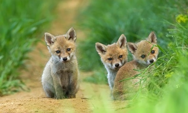40 Cute Fox Pictures 20