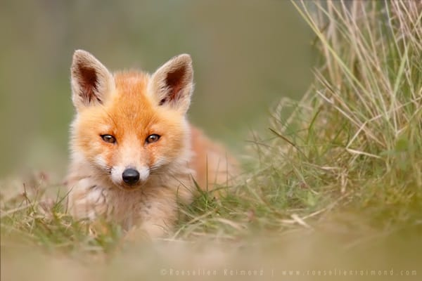 40 Cute Fox Pictures 21
