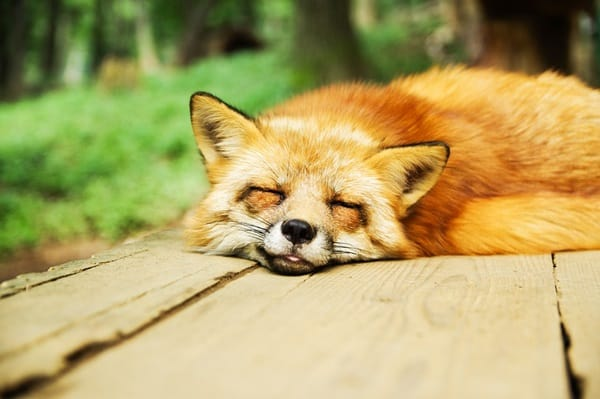 40 Cute Fox Pictures 24
