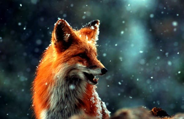 40 Cute Fox Pictures 25