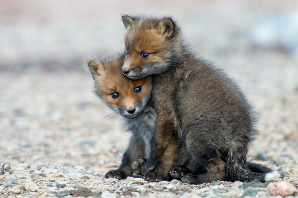 40 Cute Fox Pictures 26