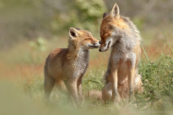 40 Cute Fox Pictures 29