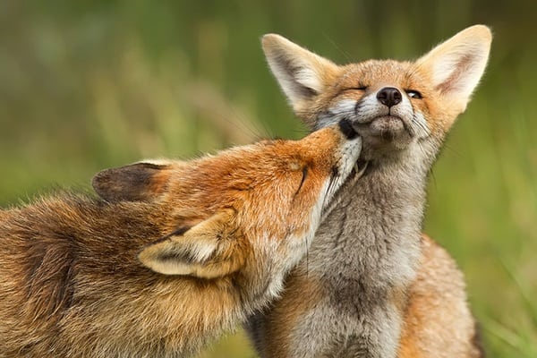 40 Cute Fox Pictures 32