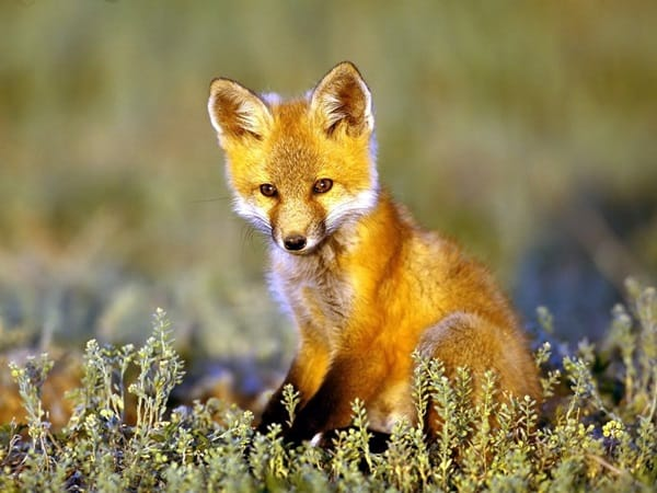 40 Cute Fox Pictures 33