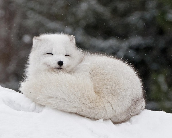 40 Cute Fox Pictures 34