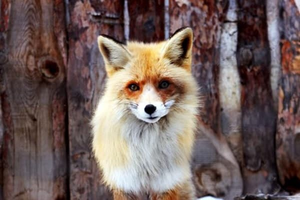 40 Cute Fox Pictures 35