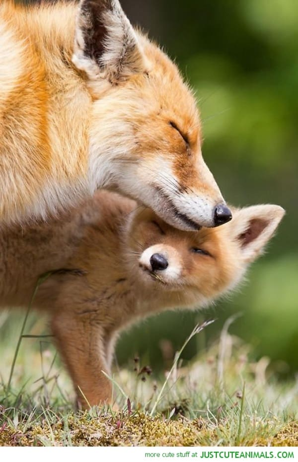 40 Cute Fox Pictures 36