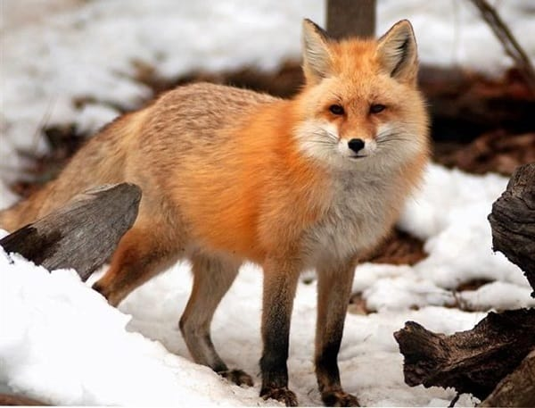 40 Cute Fox Pictures 37