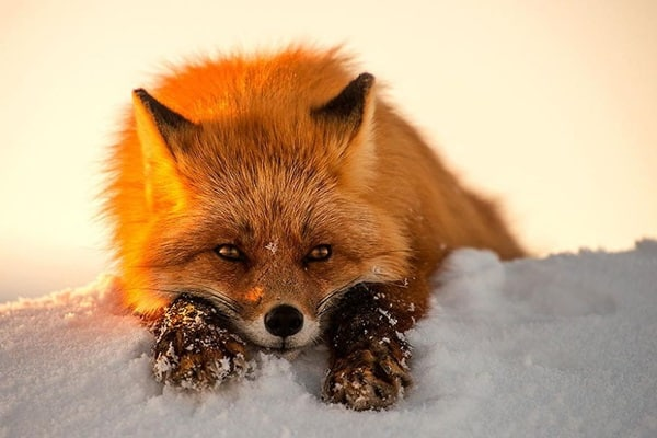 40 Cute Fox Pictures 39