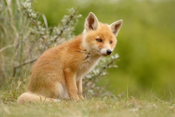 40 Cute Fox Pictures 4
