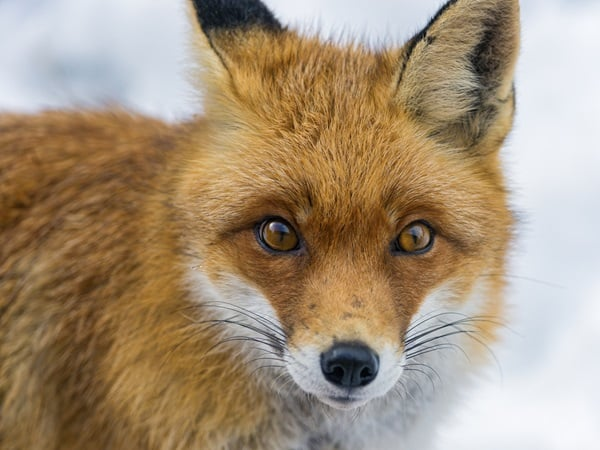 40 Cute Fox Pictures 40