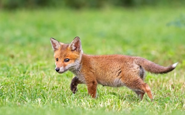 40 Cute Fox Pictures 5
