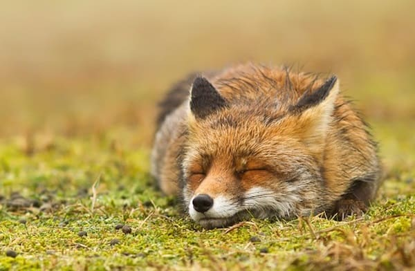 40 Cute Fox Pictures 9
