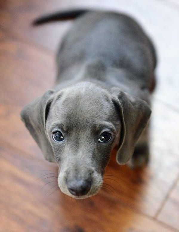 Cute and Amazing Dachshund Pictures (11)