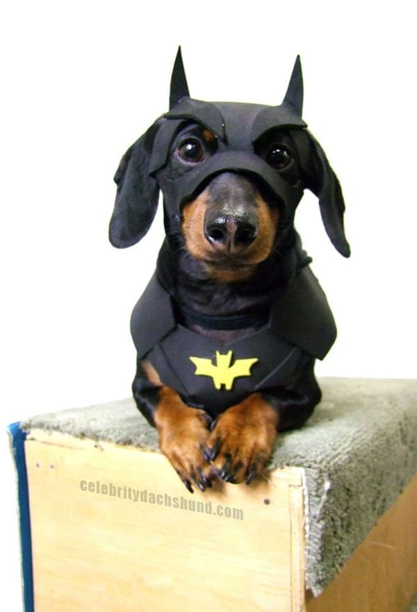 Cute and Amazing Dachshund Pictures (12)