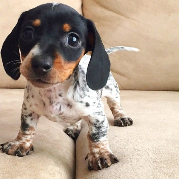 Cute and Amazing Dachshund Pictures (13)