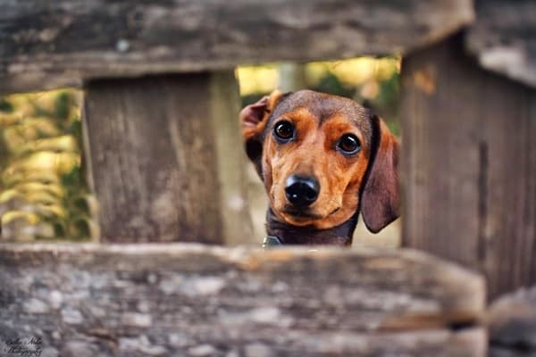 Cute and Amazing Dachshund Pictures (15)