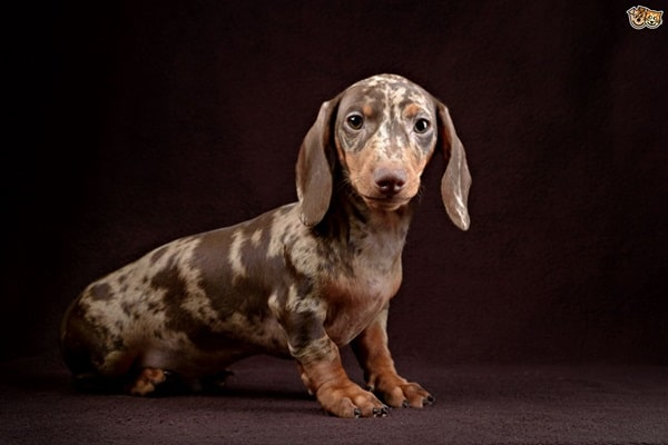Cute and Amazing Dachshund Pictures (16)