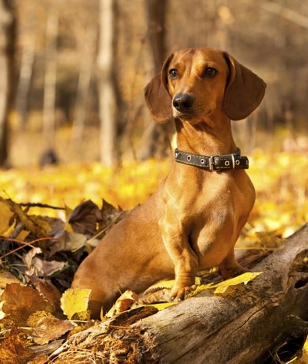 Cute and Amazing Dachshund Pictures (17)