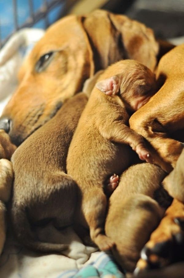 Cute and Amazing Dachshund Pictures (18)