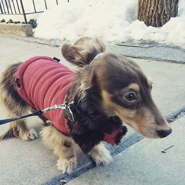 Cute and Amazing Dachshund Pictures (21)