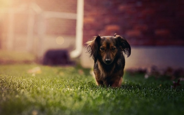 Cute and Amazing Dachshund Pictures (22)