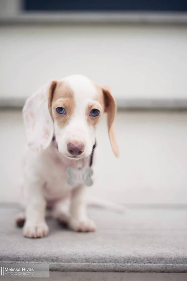 Cute and Amazing Dachshund Pictures (23)
