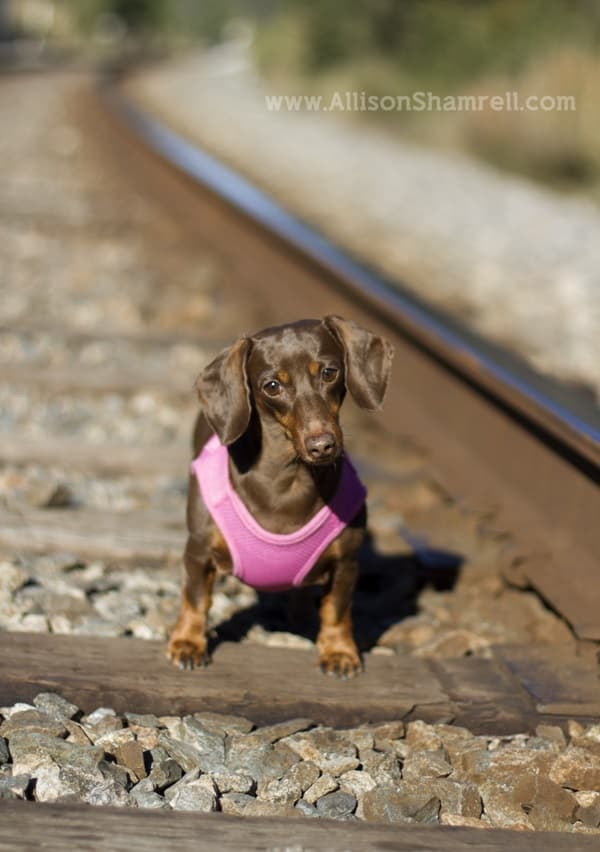 Cute and Amazing Dachshund Pictures (26)