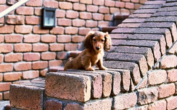 Cute and Amazing Dachshund Pictures (27)