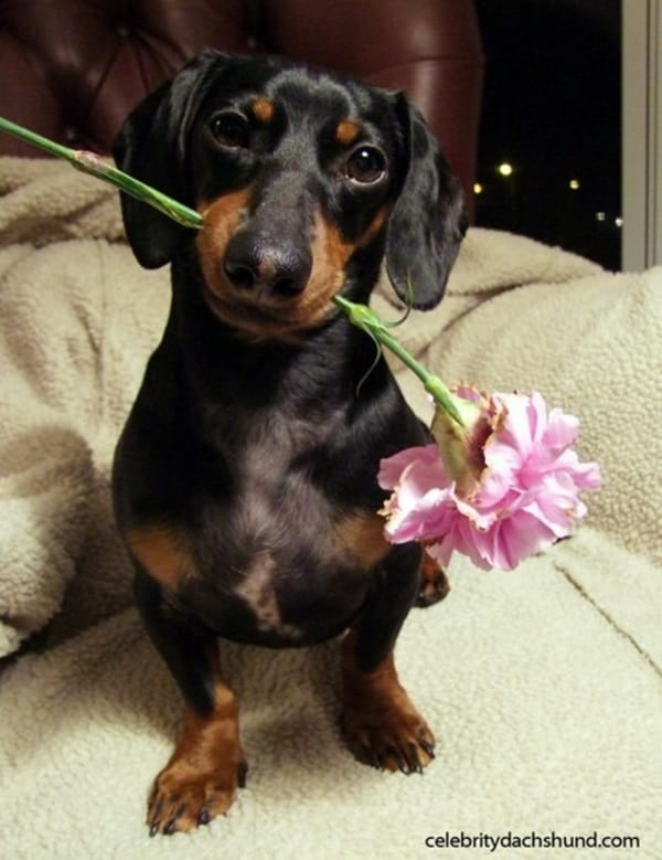 Cute and Amazing Dachshund Pictures (28)