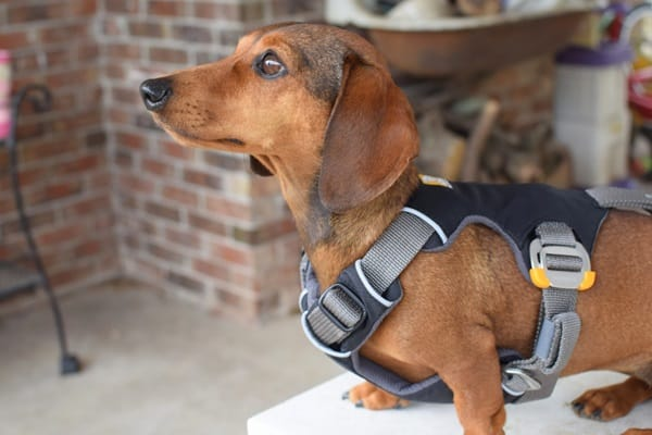 Cute and Amazing Dachshund Pictures (30)