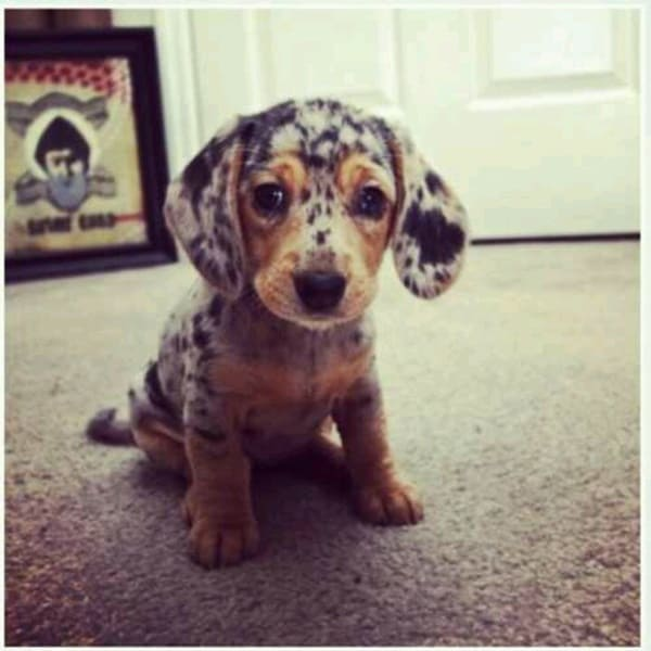Cute and Amazing Dachshund Pictures (31)
