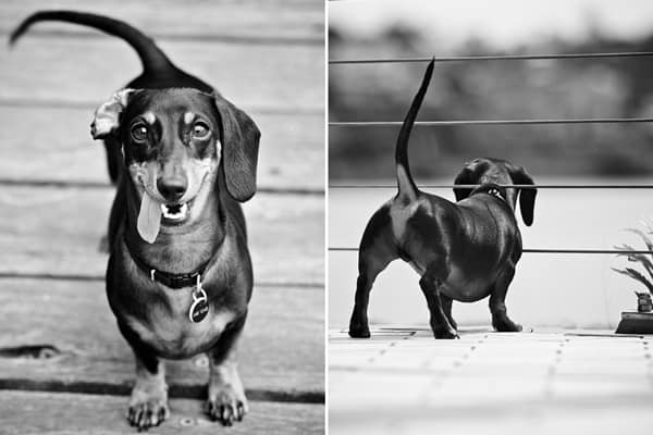 Cute and Amazing Dachshund Pictures (32)