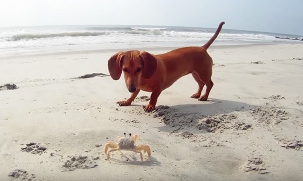 Cute and Amazing Dachshund Pictures (33)