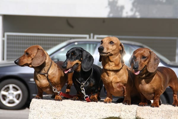 Cute and Amazing Dachshund Pictures (36)