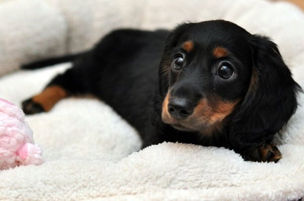 Cute and Amazing Dachshund Pictures (4)