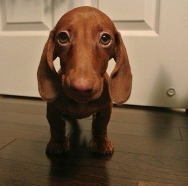 Cute and Amazing Dachshund Pictures (44)