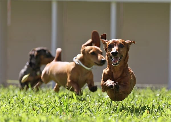 Cute and Amazing Dachshund Pictures (5)